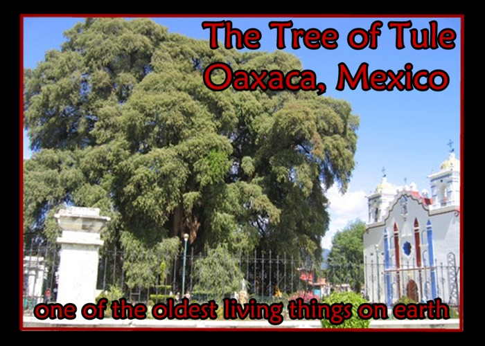 The Tule Tree -  Tree of Life