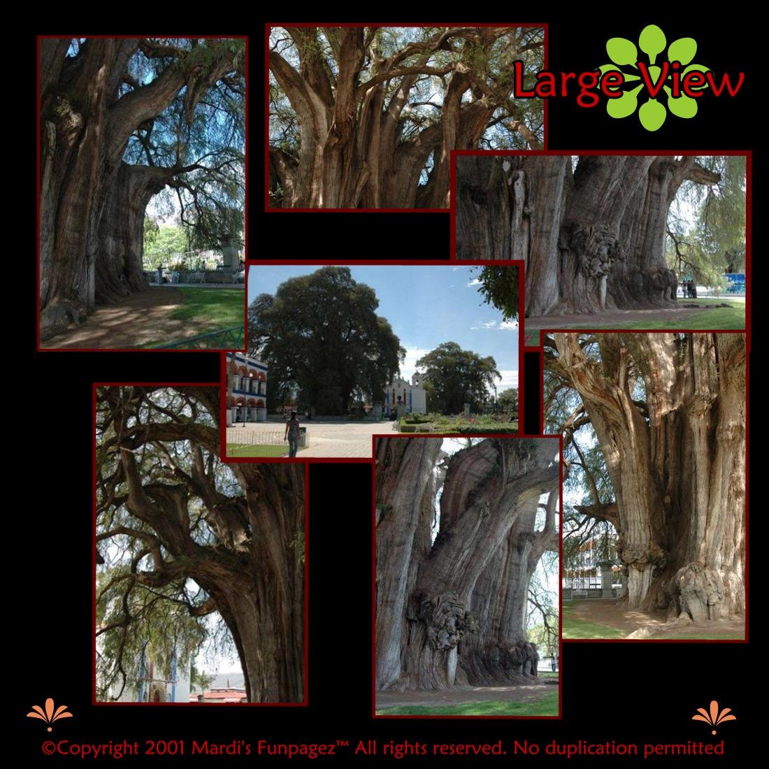 The Tree of Life -  Arbol del Tule, Santa Maria del Tule,  Oaxaca, Mexico.